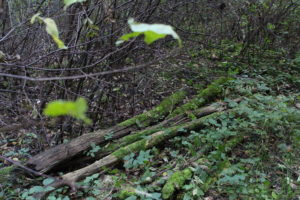 Wald-alteStämmeAufBoden